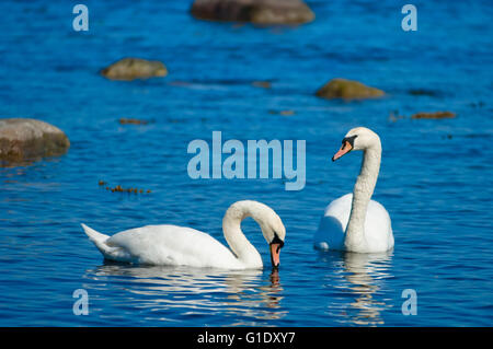 A couple of white swans on see in the sunshine - Stock Photo