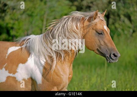 Close up  of beautiful Palomino Paint Stallion running in meadow - Stock Photo