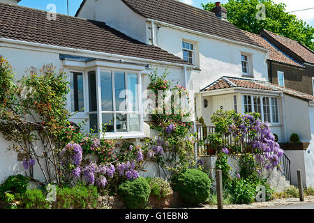 Bristol, UK. 14th May, 2016. UK Weather. Wisteria in full bloom seen on the side of a House in Bristol on a warm - Stock Photo