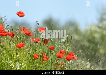wild poppy flowers on spring field - Stock Photo