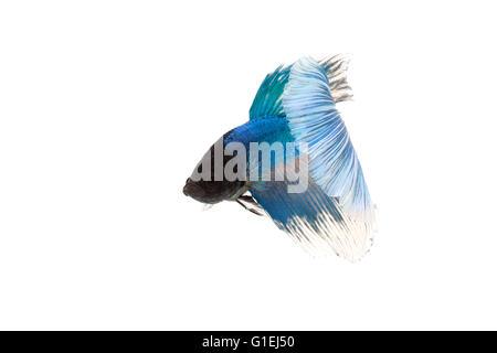 blue betta splendens isolated on white background - Stock Photo