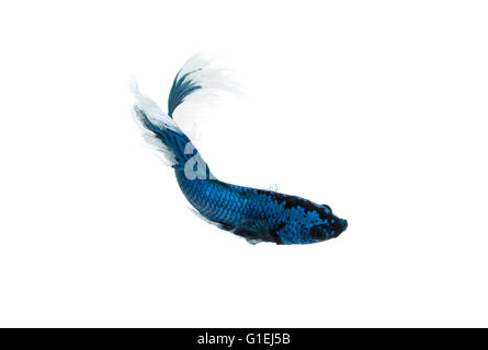 siamese fighting fish or betta splendens isolated on white background - Stock Photo