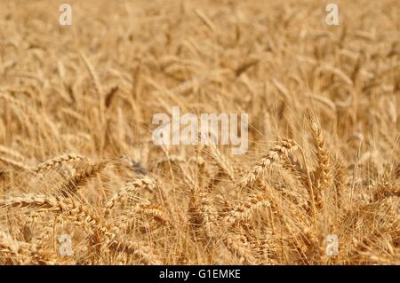 Field of wheat ready to be harvested. Selective focus - Stock Photo