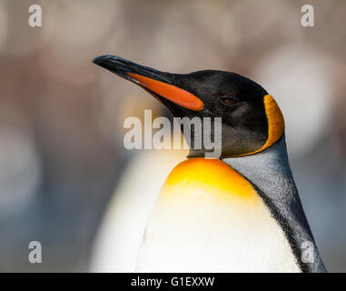 Portrait King penguin (Aptenodytes patagonicus) Gold Harbour South Georgia - Stock Photo