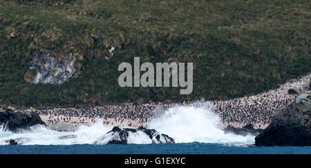 Colony of macaroni penguins (Eudyptes chrysolophus) on the beach Cooper Island South Georgia UK - Stock Photo
