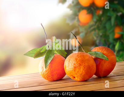 Three freshly picked oranges on a brown wooden table in an orange grove. With a tree and garden background with - Stock Photo