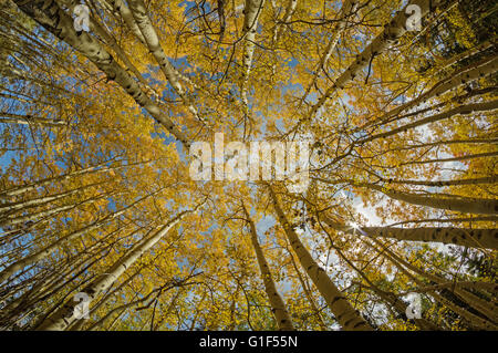wide angle view looking up into the tree tops of aspen trees in the fall with bright yellow foliage Stock Photo
