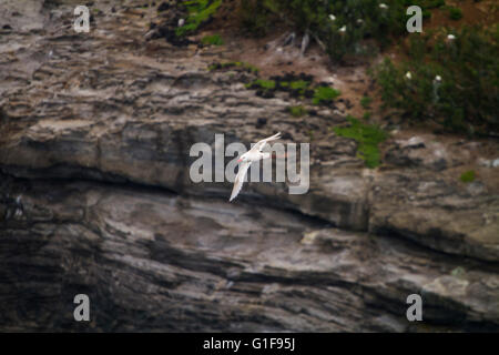 White Red-billed Tropic bird Phaethon aethereus flying next to a cliff in Kauai, Hawaii - Stock Photo