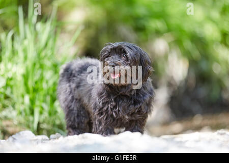 Black havanese dog standing on sand of a beach at the river - Stock Photo