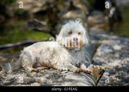 White havanese dog lying at a trunk at the river - Stock Photo
