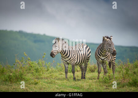 Two wild Zebra standing on the African grasslands found within the Ngorongoro Crater in Tanzania, East Africa - Stock Photo