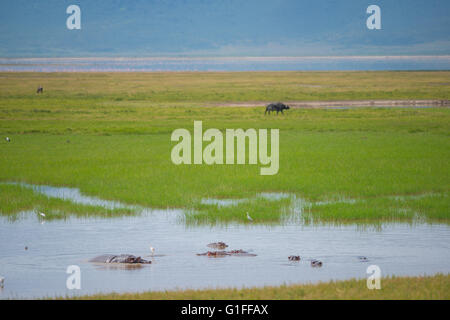 A pool of water including several Hippopotamus in the Ngorongoro Crater in Tanzania, East Africa - Stock Photo
