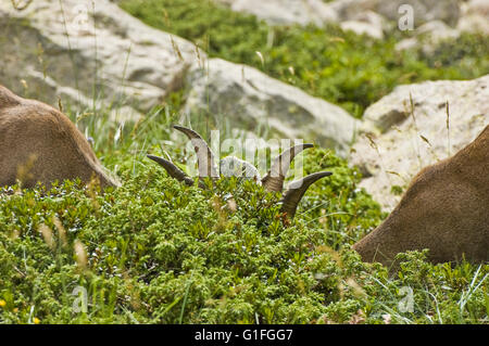 A pair of young alpine ibex (Capra ibex) grazing in the bushes - Stock Photo
