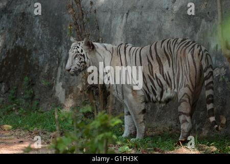 White Royal Bengal tiger (Panthera tigris tigris), Felidae, Asia - Stock Photo