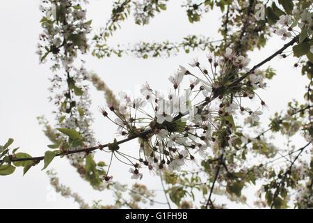 White tree blossom - Stock Photo