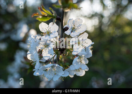 Bird Cherry (Prunus padus) blossoms in springtime. This is a small wild native British tree - Stock Photo