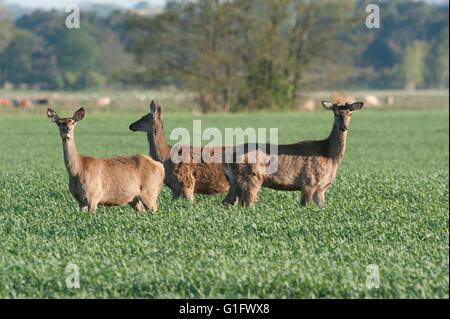 Red deer hinds and calves (cervus elaphus) are feeding in a lush wheat field in the south - Stock Photo
