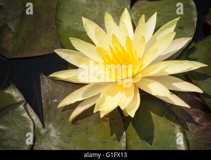 Yellow lotus or water lily blooming with leaves in the pond . - Stock Photo