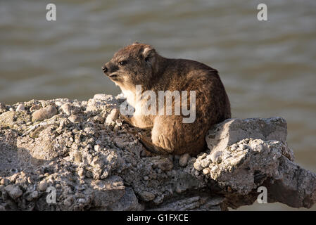 BETTY'S BAY WESTERN CAPE SOUTH AFRICA. A Rock Hyrax also known as a Dassie basking in the sun on a rock at Betty's - Stock Photo