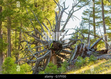 fallen tree on the side of a Montana mountain - Stock Photo