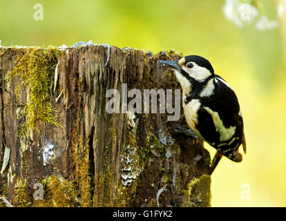 The female Great Spotted Woodpecker (Dendrocopos major) looking for food under the bark of an old rotten tree trunk - Stock Photo