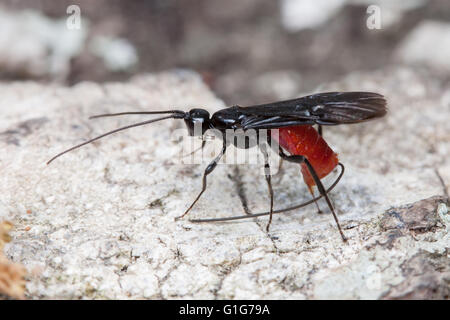 A female Braconid Wasp (Atanycolus sp.) oviposits (lays eggs) in a fallen oak tree. - Stock Photo