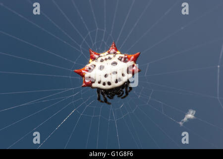 A female Spinybacked Orbweaver (Gasteracantha cancriformis), white with red spines, waits at the center of her web. - Stock Photo