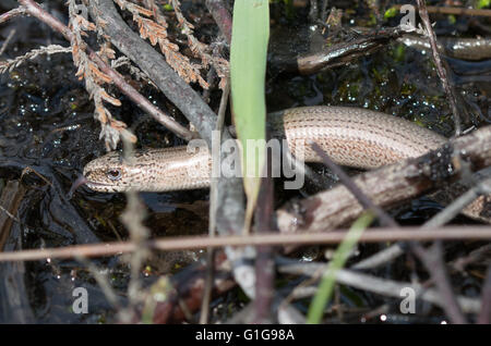 Slow worm (Anguis fragilis) drinking water in natural habitat in Berkshire, England - Stock Photo
