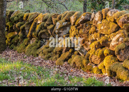 Moss covered drystane dyke at the RSPB Wood of Cree Nature Reserve, Dumfries and Galloway,  southwest Scotland, - Stock Photo