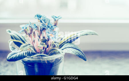 Blue primula in flowers pot on windowsill, close up. Home decoration - Stock Photo