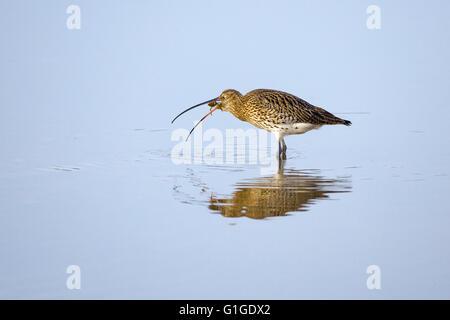 Curlew Numenius arquata eating shore crab in tidal channel - Stock Photo