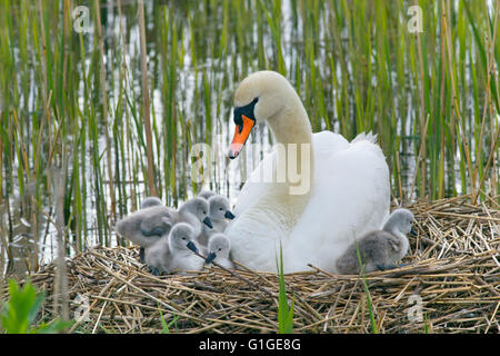 Mute Swan Cygnus olar on the nest with newly hatched Cygnets - Stock Photo