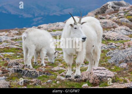 Mountain Goat (Oreamnos americanus), Nanny and Kid, Mount Evans Wilderness Area Rocky Mountains, Colorado USA - Stock Photo
