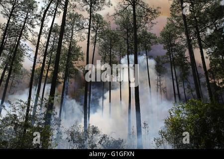 Prescribed burn, Longleaf Pine forest (Pinus palustris) Southeastern USA - Stock Photo