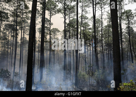 Aftermath of prescribed burn, Longleaf Pine forest (Pinus palustris) Southeastern USA - Stock Photo
