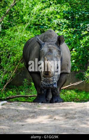 Rhino at the Louisville Kentucky Zoo - Stock Photo