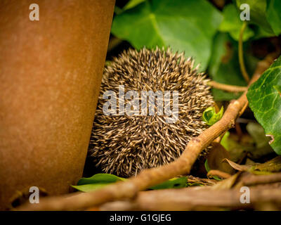 Hedgehog curled up in ball sleeping facing away from camera - Stock Photo