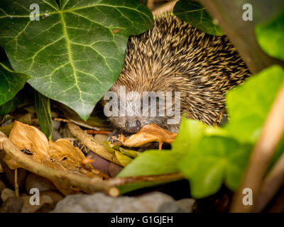 Hedgehog sleeping in leaves in garden - Stock Photo