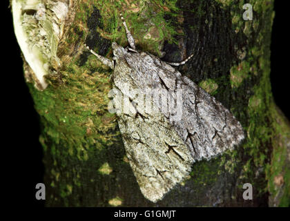 Grey dagger moth (Acronicta psi). British insect in the family Noctuidae, the largest British family of moths - Stock Photo
