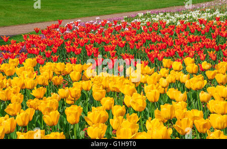 Yellow, red and white tulips blooming at the flower garden in Greenwich park of London, UK - Stock Photo
