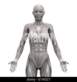 Serratus Anterior Muscles - Anatomy Muscles isolated on white - 3D illustration - Stock Photo