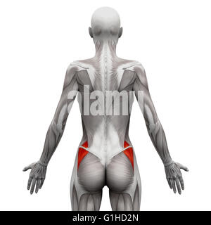 Gluteus Medius - Anatomy Muscles isolated on white - 3D illustration - Stock Photo