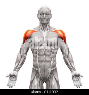 Deltoid Muscles Anterior - Anatomy Muscles isolated on white - 3D illustration - Stock Photo