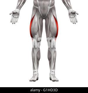 Vastus Lateralis Muscle - Anatomy Muscles isolated on white - 3D illustration - Stock Photo