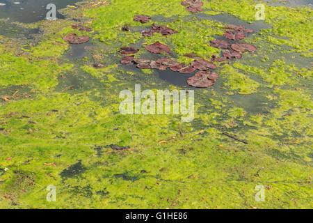 Green algae/slime growing on an English lake in May. - Stock Photo