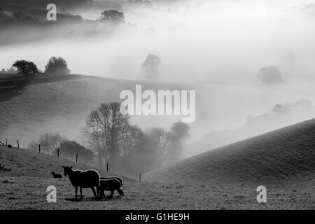 sheep in morning mist near Dunsford,Devon,Spring lambs in morning mist near Dunsford,Dartmoor National Park, beautiful, - Stock Photo