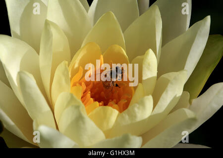 Opening yellow water lily flower with a bee, macro - Stock Photo