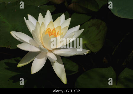 Yellow water lily in the pond - Stock Photo