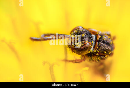 Tiny cuckoo bee, Nomada flavoguttata on a dandelion flower - Stock Photo