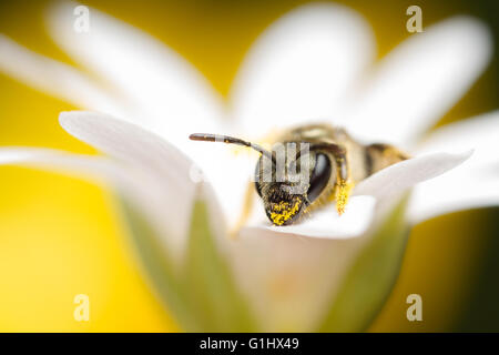 Tiny solitary bee, Halictus tumulorum on wildflower - Stock Photo